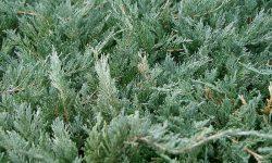 1200px-Juniperus_chinensis5
