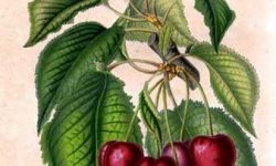 13696.Prunus