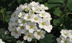 اسپیره , گل عروس , پرورش گل عروس