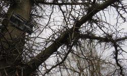 2015-03-gleditsia-caspica-spikey-tree-2