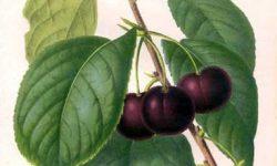 20720.Prunus