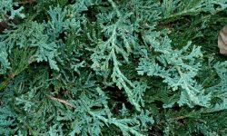 Juniperus_horizontalis_Wiltonii1