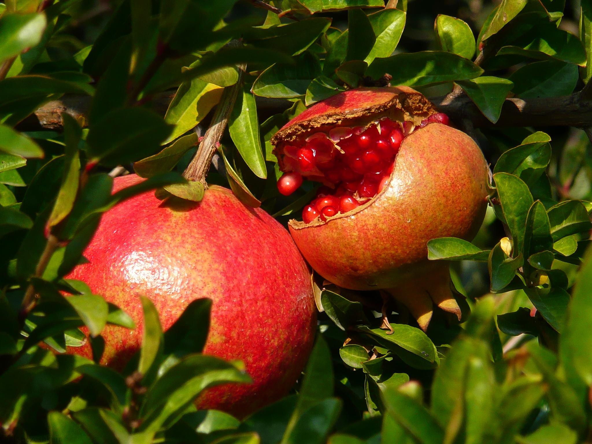 معرفی درخت انار – Punica granatum