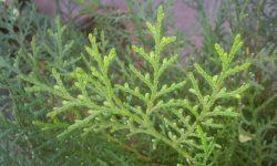 Platycladus_orientalis_syn_Thuja_orientalis_Oriental_Arbor_Vitae_at_Akola,_India