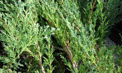 Starr_080117-2023_Juniperus_horizontalis