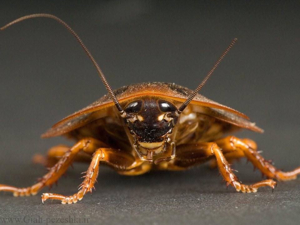 آفات بهداشتی – سوسری ها Blattodea (سوسک حمام)
