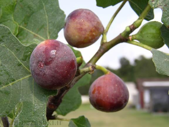 معرفی درخت انجیر خوراکی – ficus carica