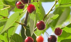 cherry_(cerasus_vulgaris)