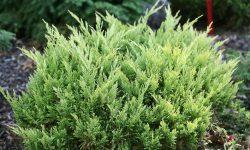 good_vibrations_gold_juniperus-2