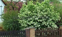 guelder-rose-viburnum-viburnum-opulus-roseum-viburnum-opulus-roseum-ebrw76
