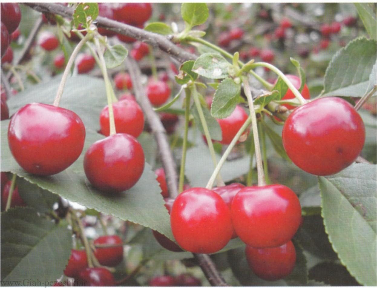معرفی درختچه آلبالو – Cerasus vulgaris