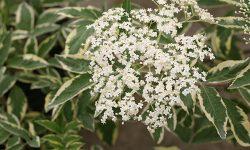 instant_karma_elderberry_sambucus_flower