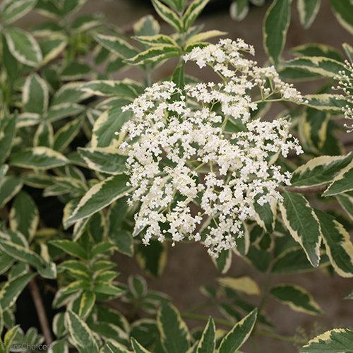 معرفی درختچه ی آقطی سیاه – Sambucus nigra