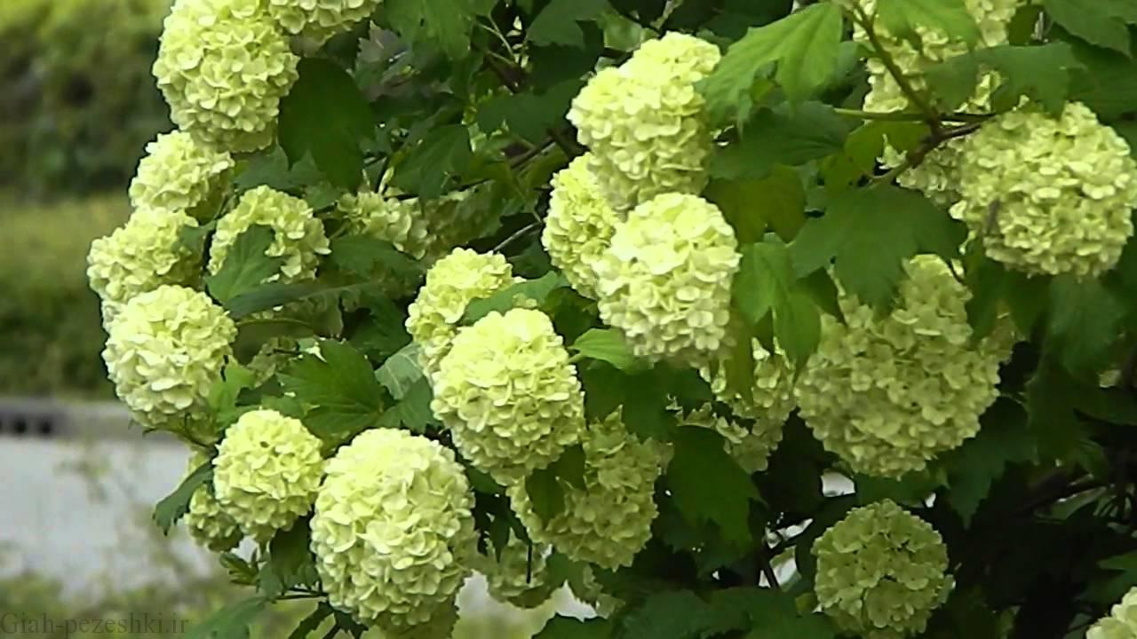 معرفی درخت بداغ – Viburnum opulus