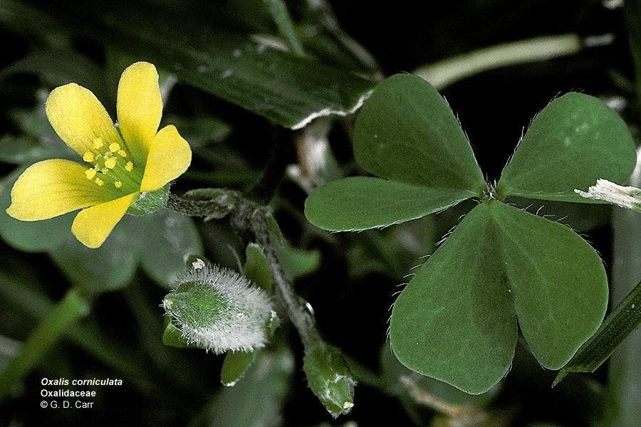 http://giah-pezeshki.ir/%d9%85%d8%b9%d8%b1%d9%81%db%8c-%d8%aa%db%8c%d8%b1%d9%87-%db%8c-%d8%aa%d8%b1%d8%b4%da%a9-%d8%b4%d8%a8%d8%af%d8%b1%db%8c-oxalidaceae/