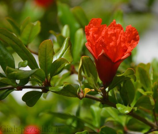 دلایل میوه دهی نامناسب و یا عدم میوه دهی در درخت انار