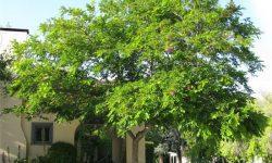 robinia-pseudoacacia-tree-3