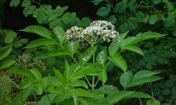 sambucus-nigra-canadensis-fl-ahaines