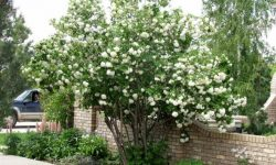 snowball-bush-viburnum