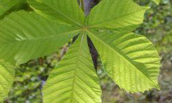 Aesculus-hippocastanum-leaf-600x600