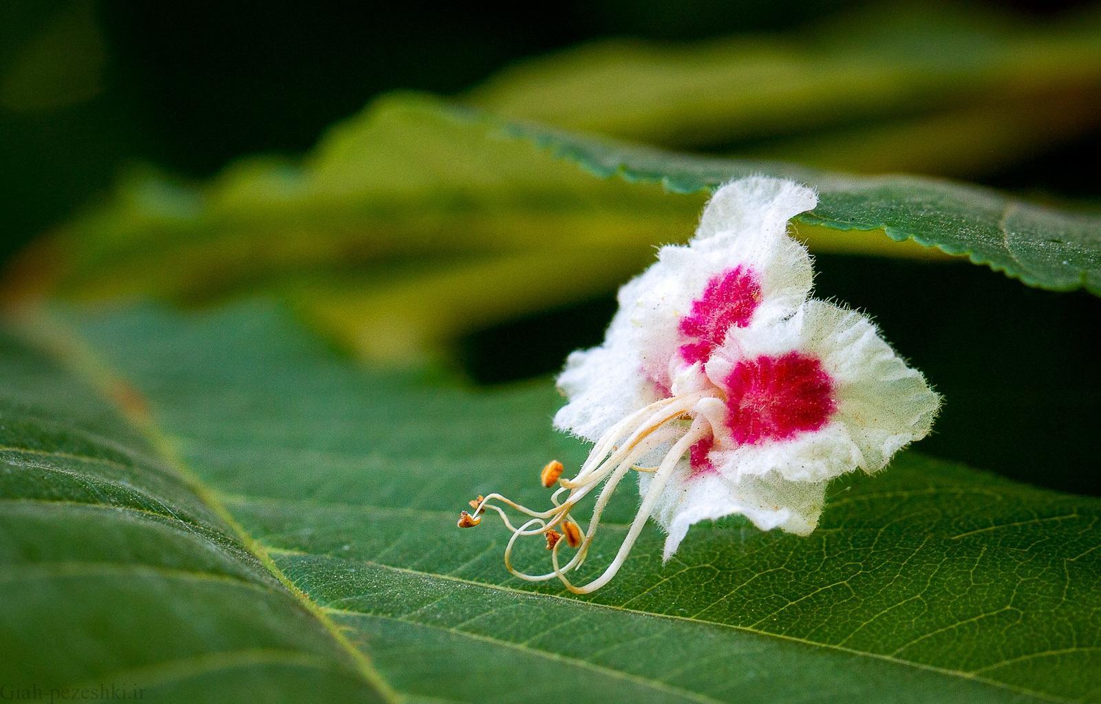 معرفی درخت شاه بلوط هندی – Aesculus Hippocastanum