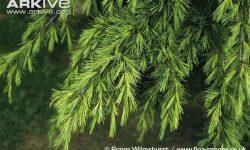 Deodar-cedar-branches