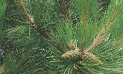 Pinus_nigra_nigra_2007_2321