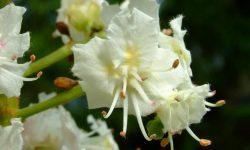 aesculus_hippocastanum_horse_chestnut_tree_flower_12-05-06