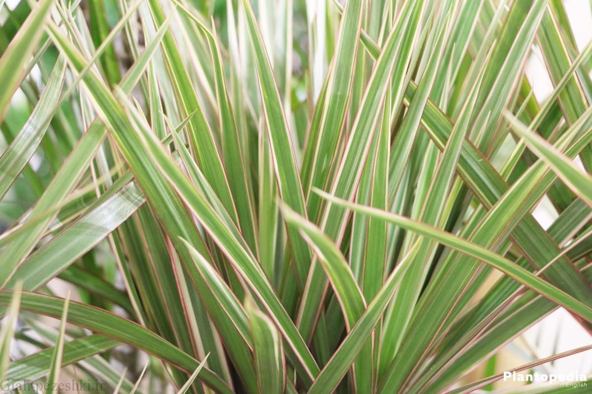 نکات اصلی نگهداری گیاه دراسینا پرچمی – Dracaena marginata