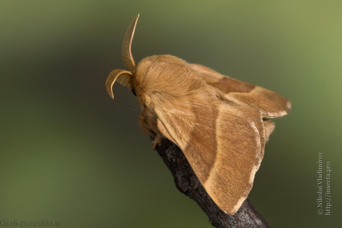 شناخت کامل آفت پروانه تخم انگشتری و راه های مبارزه با آن