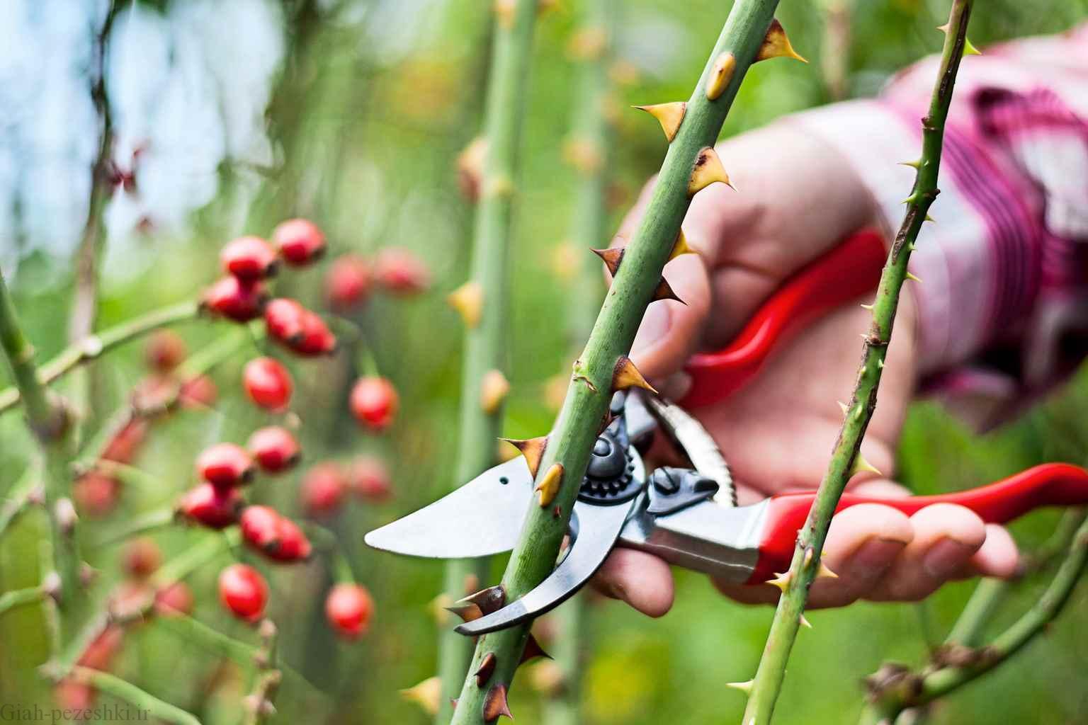 روش نگهداری از گل های رز در فصل پاییز