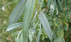 Willow, White (Salix alba) M69 Island Sapcote SP 4633 9377 (taken 23.7.2008)