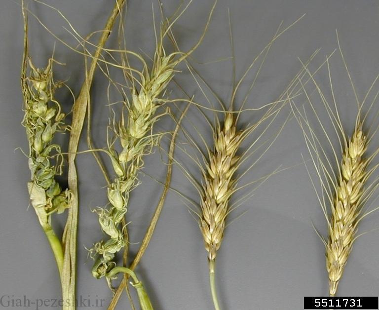 سفیدک داخلی یا کرکی گندم Cereal downy mildew