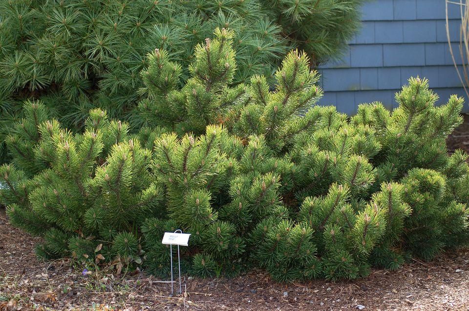 نکات مهم در نگهداری از کاج مشهدی(کاج موگو – Mugo Pine )