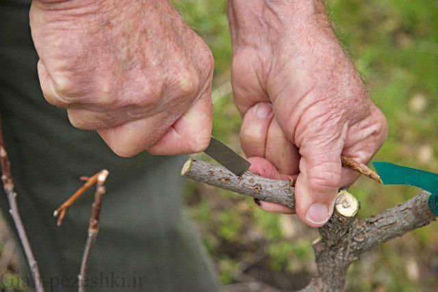 روش ها و نحوه ی پیوند درختان پسته