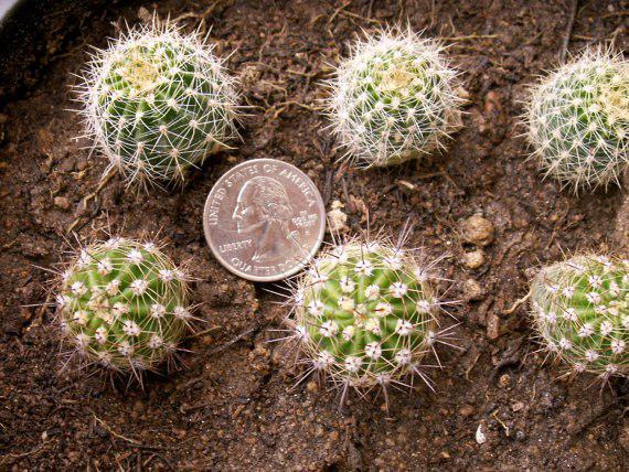 تاثیرات تغییرات دمایی بر رشد کاکتوس ها