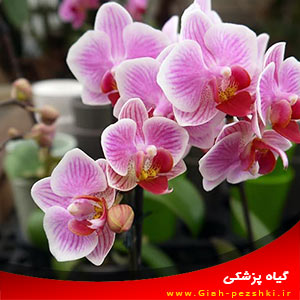 نحوه کاشت و نگهداری از گل ارکیده