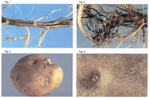 بیماری خال سیاه سیب زمینی