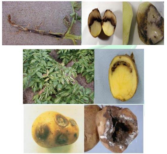 پوسیدگی نرم باكتریایی و ساق سیاه سیب زمینی