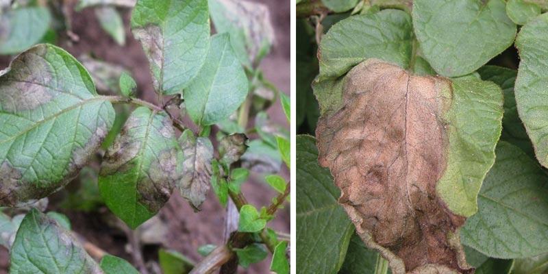 بیماری سفید داخلی بادزدگی سیب زمینی(blight Late)