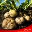 شناسایی بیماری های مهم سیب زمینی و روش های مبارزه با آن ها