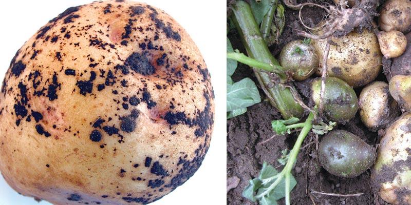 پوسیدگی ریشه سیب زمینی