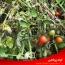 شناسایی و مبارزه با مهمترین بیماری های گوجه فرنگی