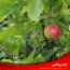 ۵ دلیل برای عدم میوه دهی درختان میوه