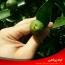 ریزش آلترناریایی میوه های مرکبات (پوسیدگی ناف سیاه مرکبات)