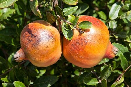 سوختگی میوه های انار در اثر تابش مستقیم نور آفتاب