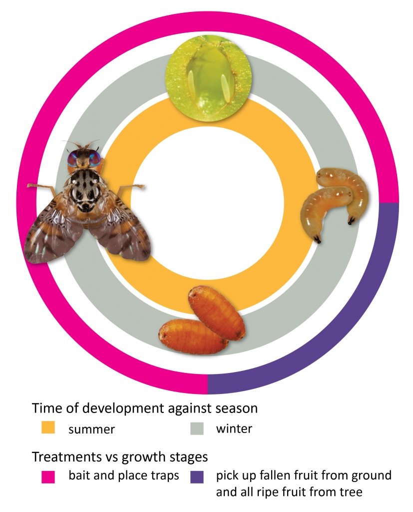 چرخه زندگی مگس میوه مدیترانه ای med fly