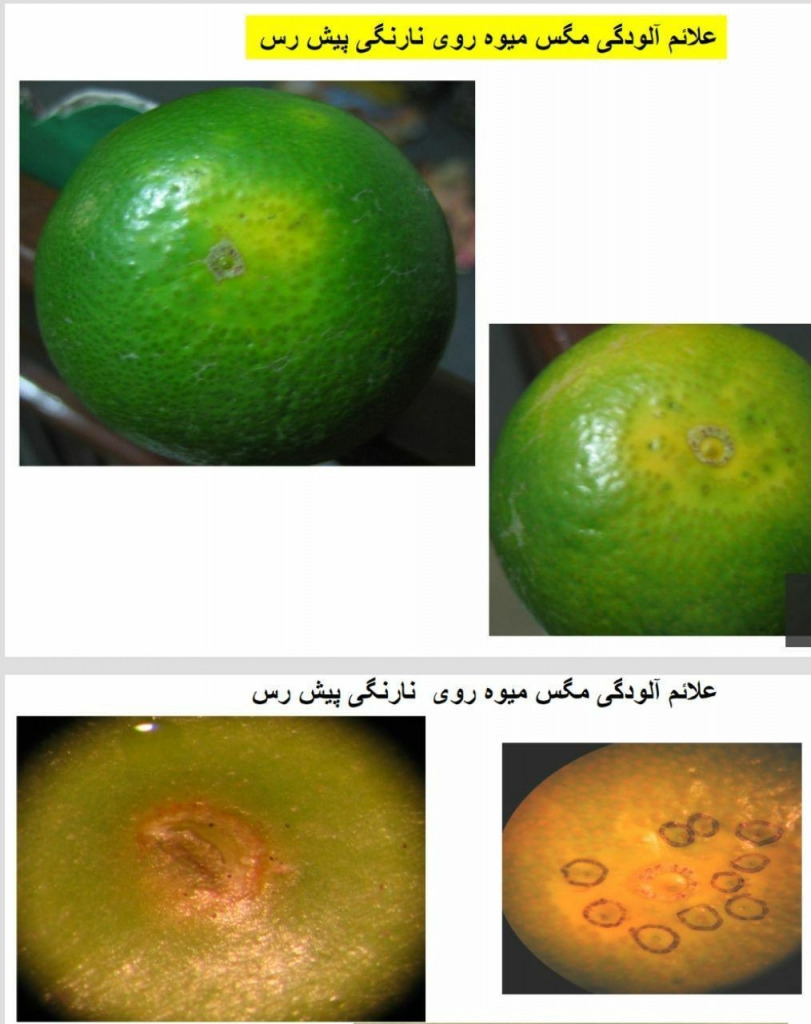 علائم خسارت مگس میوه مدیترانه ای
