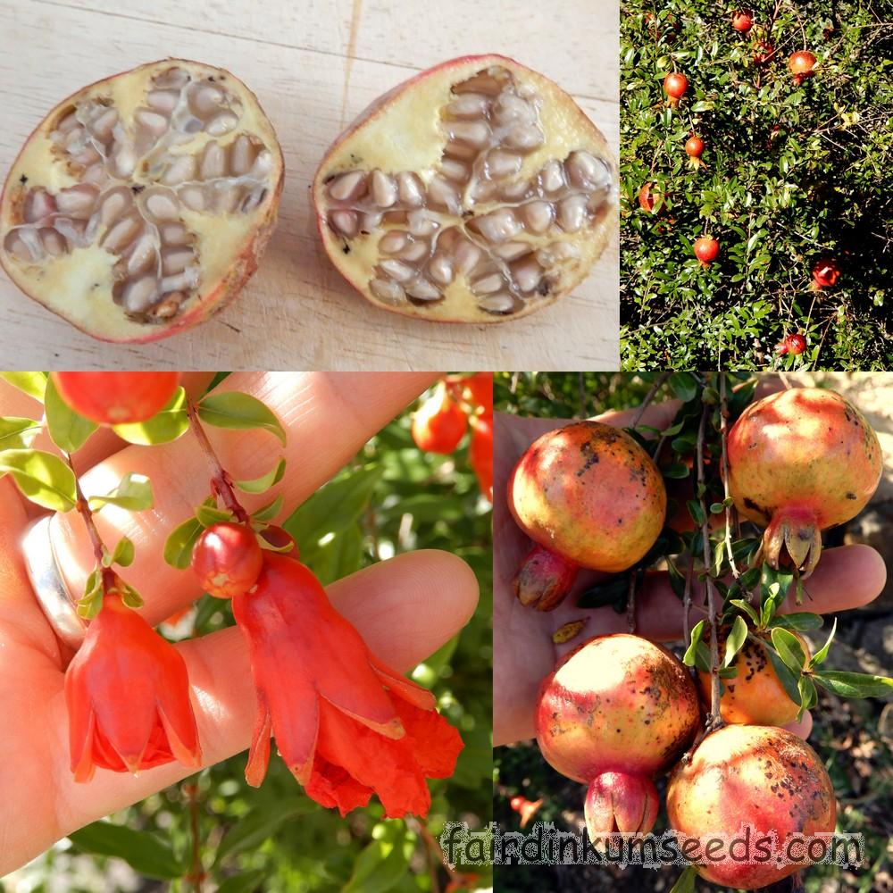 علت عارضه ی دانه سفید شدن میوه های انار