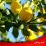 علت ریزش برگ های درخت لیمو و کنترل آن ها